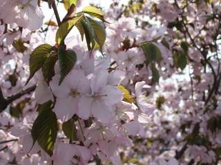 sakura-mannkai.jpg